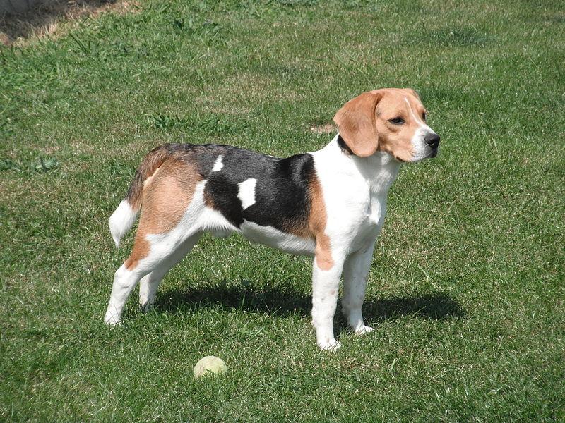 Das sete raças apaixonantes, o Beagle é o mais travesso