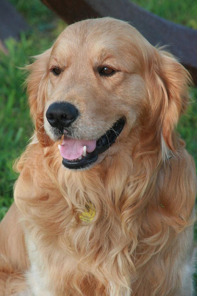 O Golden Retriever é um a das 7 raças preferidas