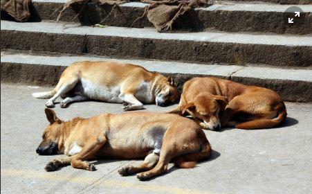 Os cachorros vira-latas são fisicamente mais resistentes