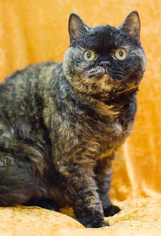 A raça Selkirk Rex possui vários padrões de cores e pelagens , mas não são gatos mau humorados
