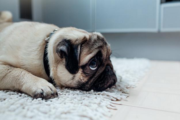 O olhar de pidão desse pequeno cachorro amolece os corações dos tutores