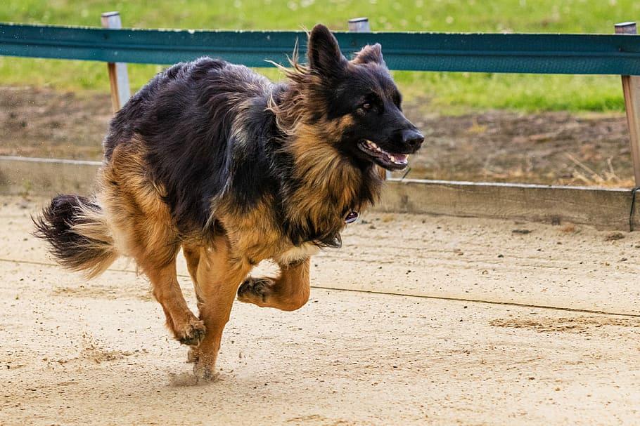 A displasia coxofemoral afeta as patas traseiras dos cães