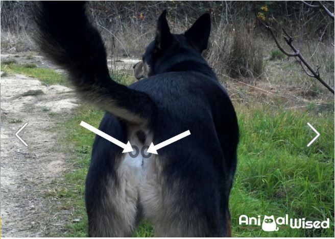 A glândula anal é responsável pela lubrificação durante a defecação