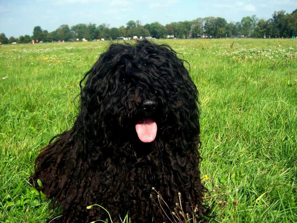 Hungarian Puli é um cão pastor muito animado e inteligente