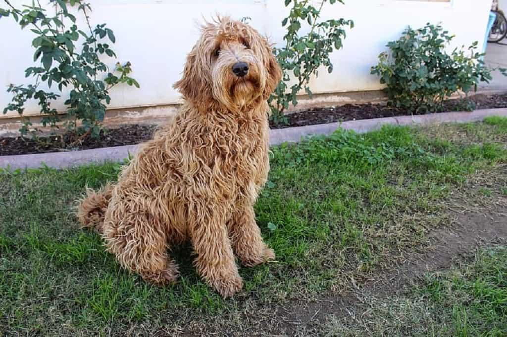 Labradoodle é resultado de cruzamentos entre cães de raças diferentes